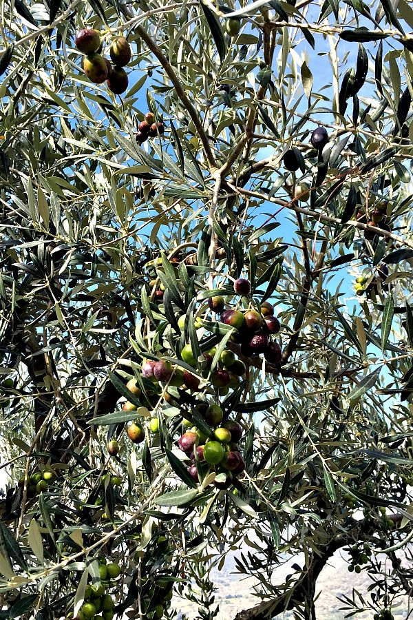 Olives on tree branch in Cortona, Italy